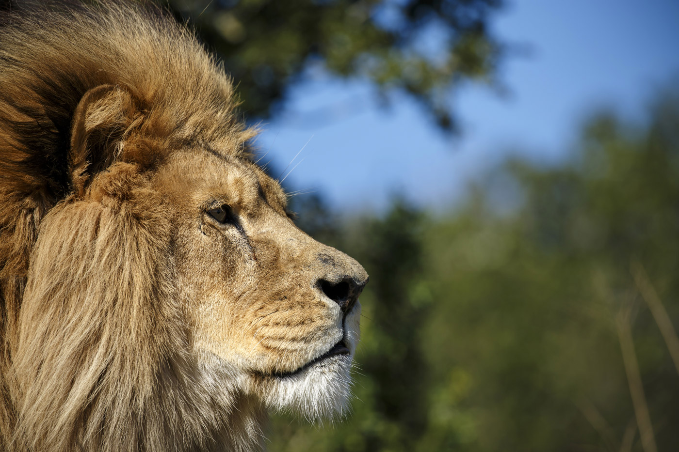 <p>Close up of a rescued lion from at the Born Free reserve, South Africa</p>